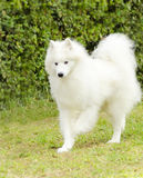 Samoyed Stock Photography
