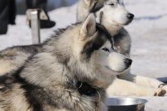 samoyede собаки Стоковое Фото