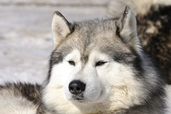 samoyede собаки Стоковое Изображение RF