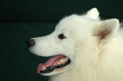 Free Samoyede Royalty Free Stock Photography - 2251287