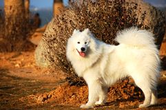 Samoyede Stock Photos