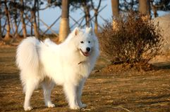 Samoyede Royalty Free Stock Photography