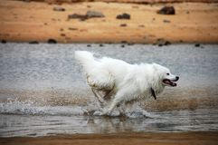 Free Samoyede Royalty Free Stock Photography - 5985627