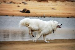 Free Samoyede Royalty Free Stock Photos - 5985628