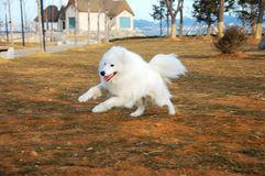 Free Samoyede Royalty Free Stock Photography - 5985637