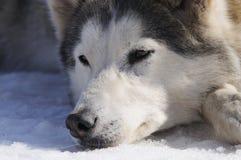 Samoyede Hund Stockbild