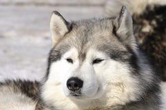 Samoyede Hund Lizenzfreies Stockbild