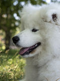 Samoyede lindo del perrito Fotos de archivo