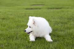 Samoye. DEnglish: d is a member of the Fox dog family and was originally a breed of dogs cultivated by the indigenous d people of Siberia. Characterized by `s royalty free stock photos