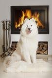 Samoyedhond door huisopen haard Stock Afbeeldingen