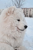 Samoyedhund Lizenzfreies Stockbild