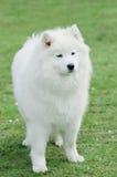 Samoyedhund Fotografering för Bildbyråer