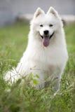 Samoyedhund Royaltyfri Foto