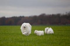 Samoyedhund Lizenzfreies Stockfoto