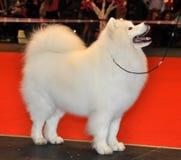 Samoyedhund Royaltyfri Bild