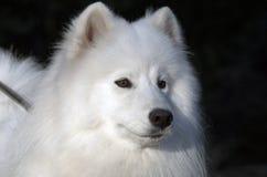 Samoyedhund Royaltyfria Bilder