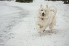 Samoyedhund auf dem Schnee. Lizenzfreies Stockfoto