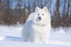 Samoyedhund auf dem Schnee Lizenzfreies Stockbild
