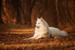 Samoyedhund, der auf einem Hintergrund des orange Waldes liegt Lizenzfreies Stockbild