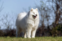 Samoyedhund, der auf Gipfel steht Lizenzfreie Stockfotografie
