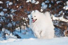 Samoyedhund, der in den Schnee läuft Lizenzfreie Stockfotografie
