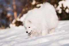 Samoyedhund, der in den Schnee läuft Lizenzfreies Stockfoto