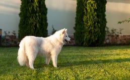 Samoyedhund im Freien Stockfotografie