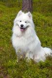 Samoyedhund im Holz Lizenzfreie Stockbilder