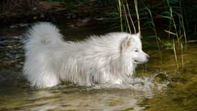 Samoyedhund im Wasser Lizenzfreies Stockfoto