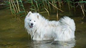 Samoyedhund im Wasser Stockfoto