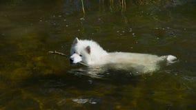 Samoyedhund im Wasser Lizenzfreie Stockfotos