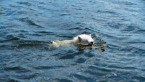 Samoyedhund im Wasser Lizenzfreie Stockbilder