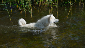 Samoyedhund im Wasser Lizenzfreie Stockfotografie