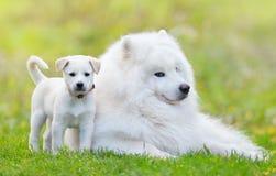 Samoyedhund och vit valp Fotografering för Bildbyråer