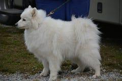 Samoyedhund på koppeln som är klar för en gå Arkivfoton