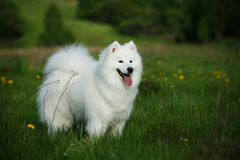 Samoyedhund på en gå i parkera Arkivfoto