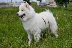 Samoyedhund steht im grünen Gras Samoiedskaya-sobaka oder nenetskaya laika Lizenzfreies Stockfoto