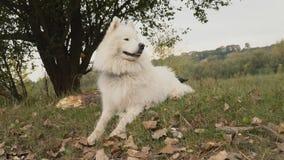 Samoyedhunden parkerar in arkivfilmer