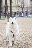 Samoyedhundeporträt Lizenzfreies Stockfoto