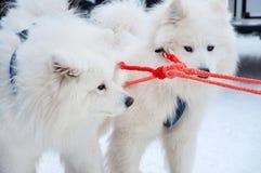 Samoyedhundkapplöpning Fotografering för Bildbyråer