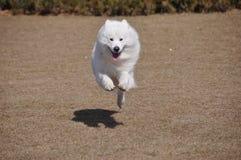 Samoyedo Foto de archivo