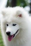 Samoyedo Fotografía de archivo libre de regalías
