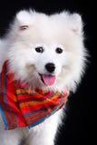 Samoyedo Imagen de archivo