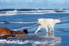 Samoyedo blanco del perro que juega cerca del mar en día soleado Foto de archivo libre de regalías