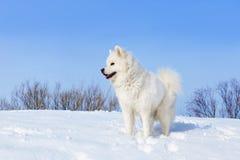 Samoyedo blanco del perro que se coloca en la nieve en invierno en fondo del cielo azul Imágenes de archivo libres de regalías