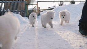 Samoyedo de los perritos que corre para el hombre metrajes