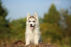 samoyedo un pequeño perrito mullido Imagen de archivo libre de regalías