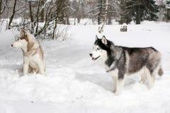 Samoyedo y perro esquimal en nieve Invierno Imagen de archivo