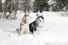 Samoyedo y perro esquimal 2 perros en el bosque del invierno Foto de archivo libre de regalías