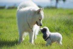 Samoyedo y Pudel en amor Foto de archivo libre de regalías